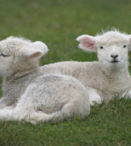 Lambs for Children